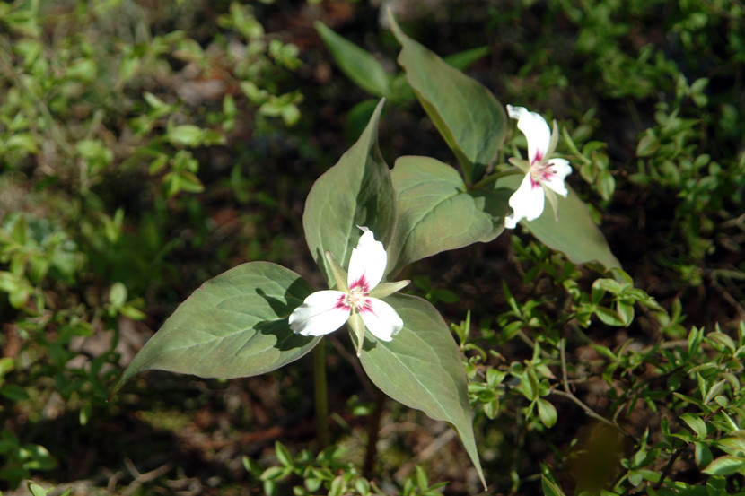 Painted Trilliums along the Trail (Credit: Maine Bureau of Parks and Lands)