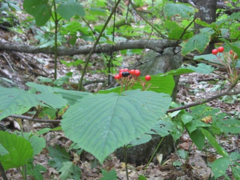 Viburnum lantanoides or Hobblebush (Credit: Landon Fake)