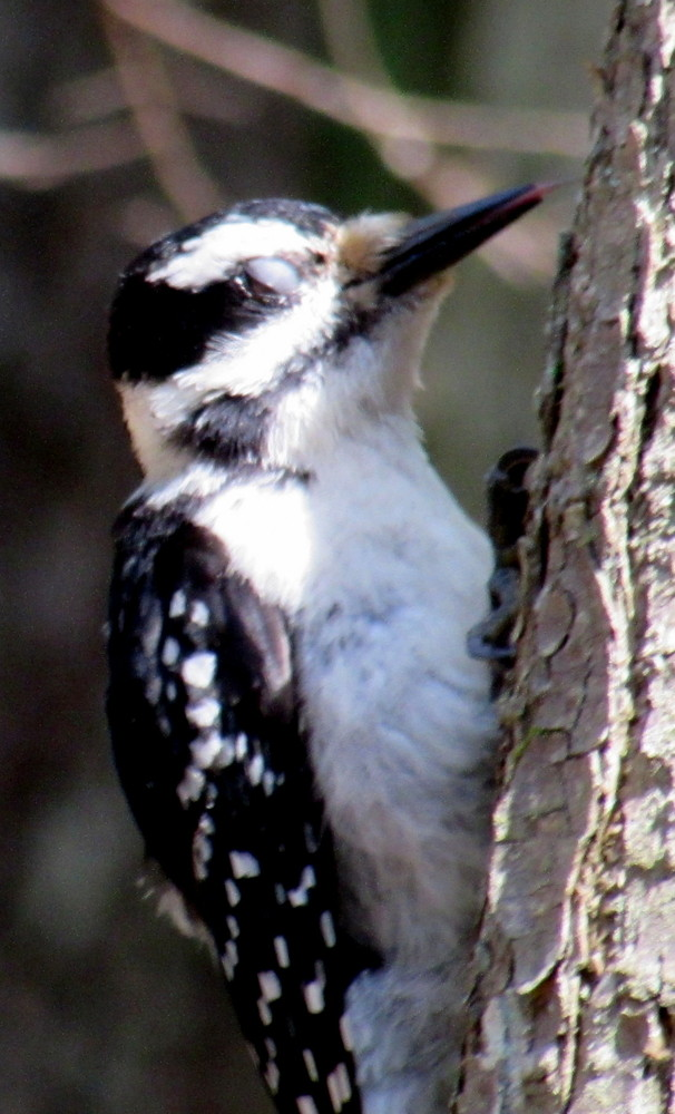 woodpecker on the Harreseeket Trail just before he retrieves an insect (Credit: gary janson)