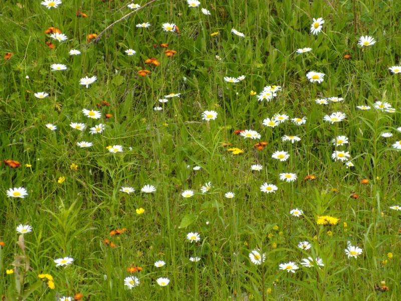 Wildflowers at the Hatchery Brook Preserve (Credit: Shelby Rousseau)