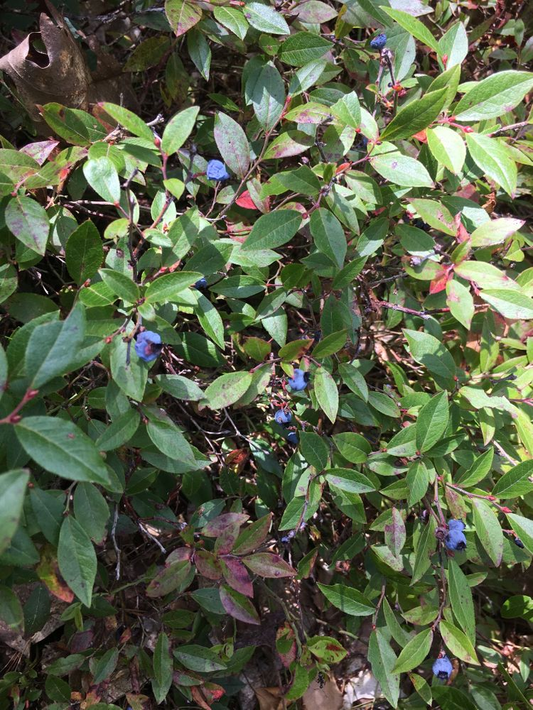 Wild blueberries on ledges trail in August (Credit: Courtney Sargent)