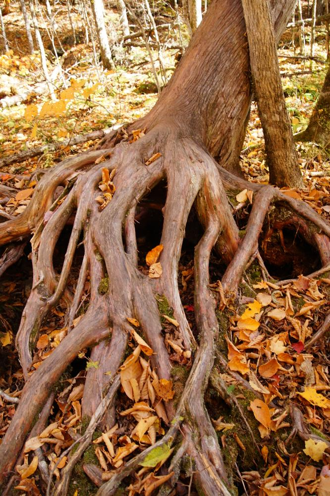Root Fingers along the trail (Credit: Jeanette Matlock)