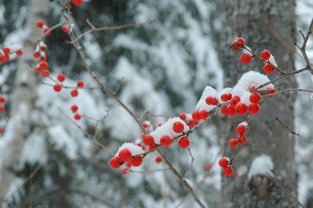 Winterberries (Ilex verticillata) (Credit: Clare Cole)
