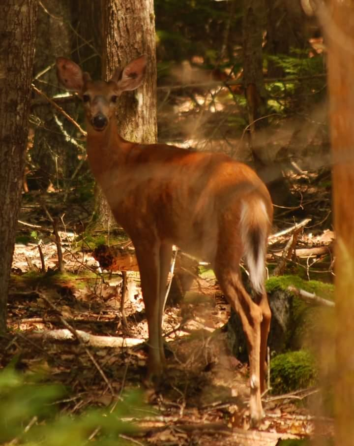 My friendly young buck (Credit: Amanda Bernheisel)