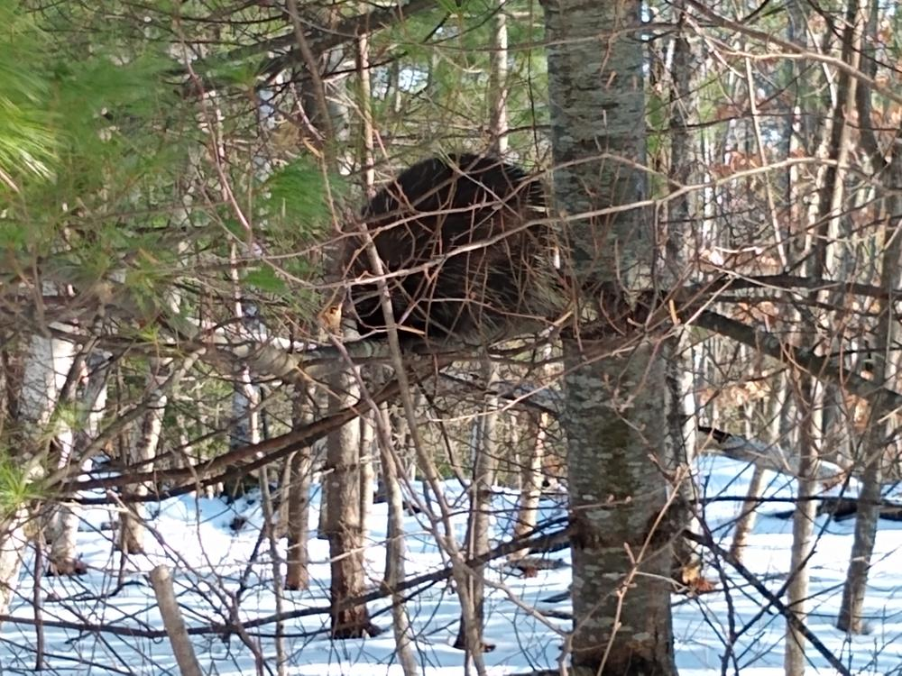 Porcupine in a tree (Credit: Michelle Moody)