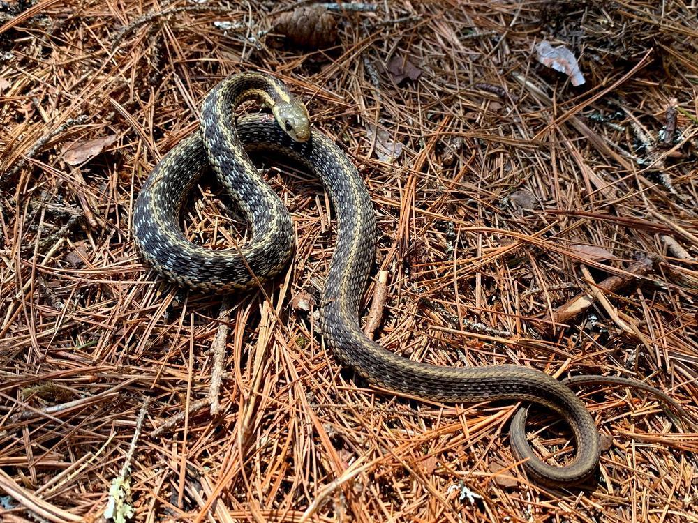 Common Garter Snake (Credit: Paula Bourque)