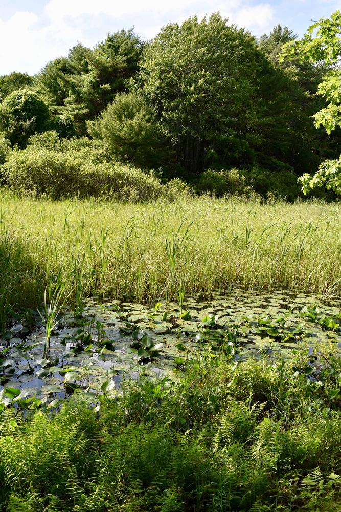 Lily pond, field, and ferns (Credit: Beth Whitney)