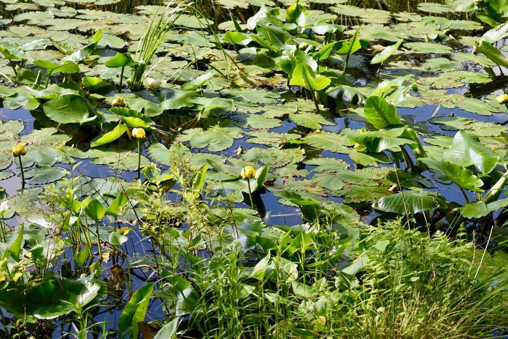 Yellow waterlilies (Credit: Beth Whitney)
