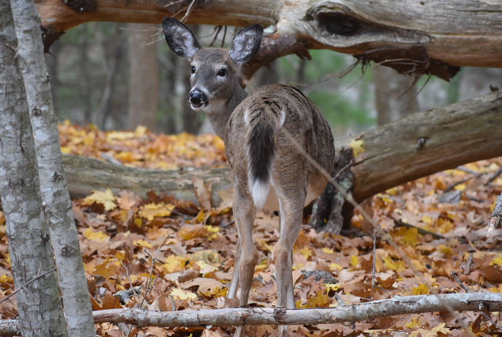Oh, deer! (Credit: Paula Bourque)
