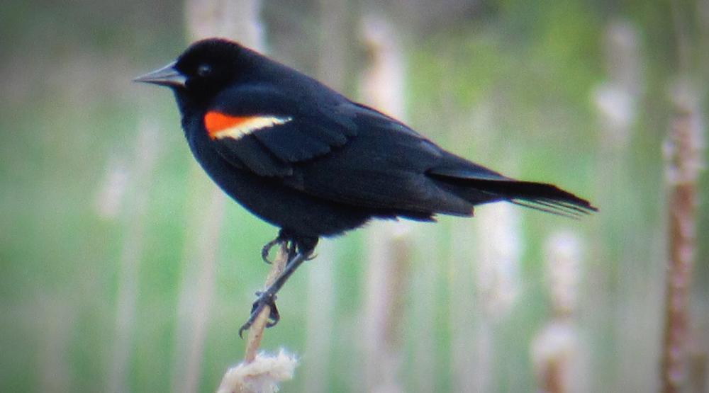 Red Winged Blackbird (Credit: Gary Janson)