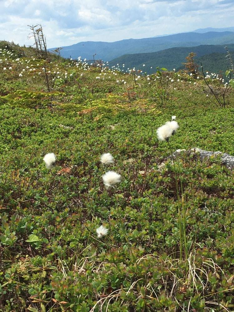Cotton grass near the summit (Credit: Pam Moore)
