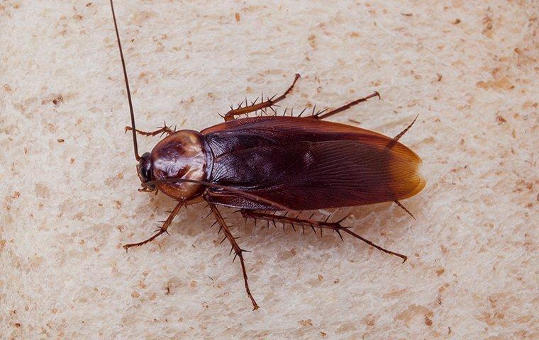 an american cockroach on bread