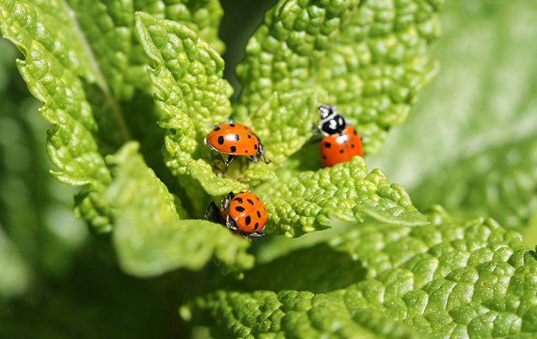lady bugs on plant in home