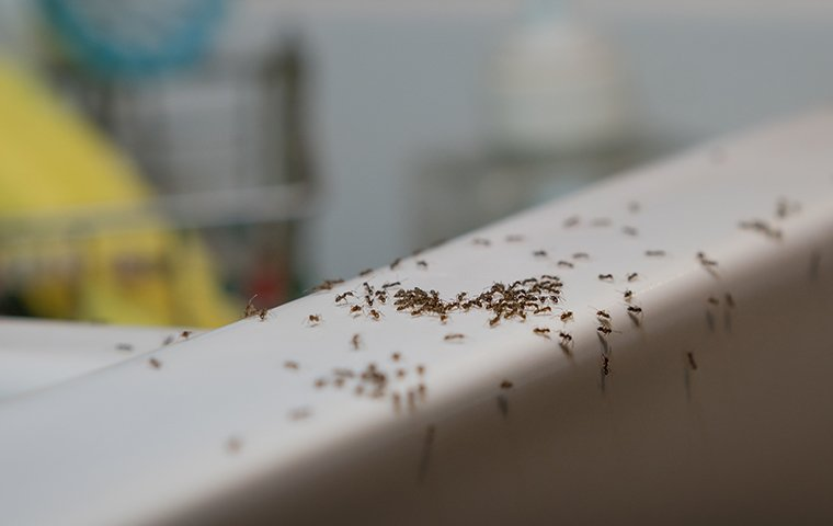 ants in a kitchen