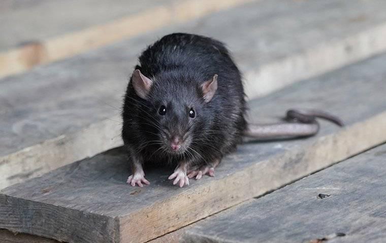 a rat walking on a wooden pallet