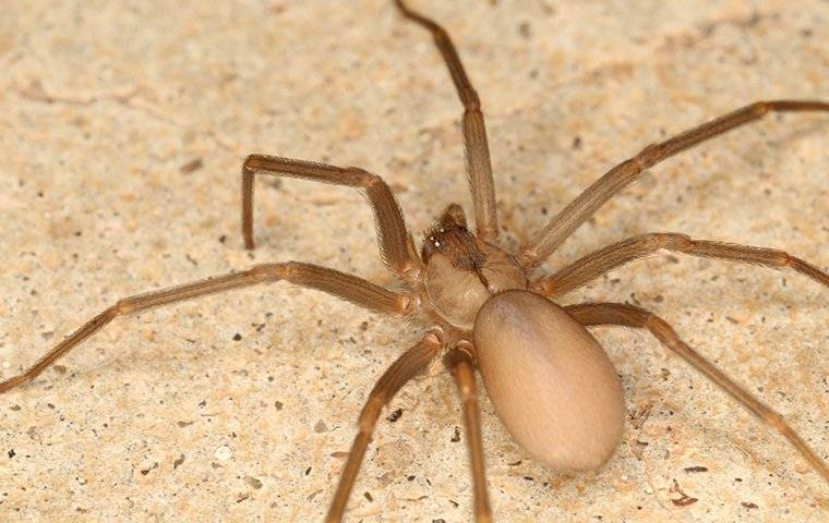 up close image of a brown recluse spider crawling on a bathroom floor