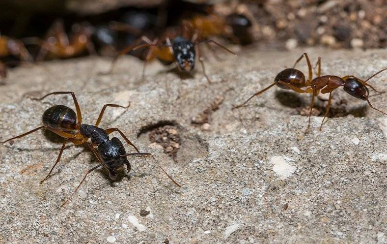 an up close image of a few carpenter ants crawling on the ground