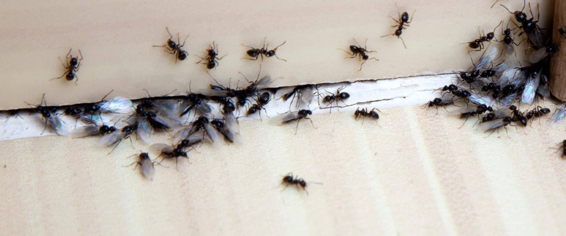 ants on a baseboard