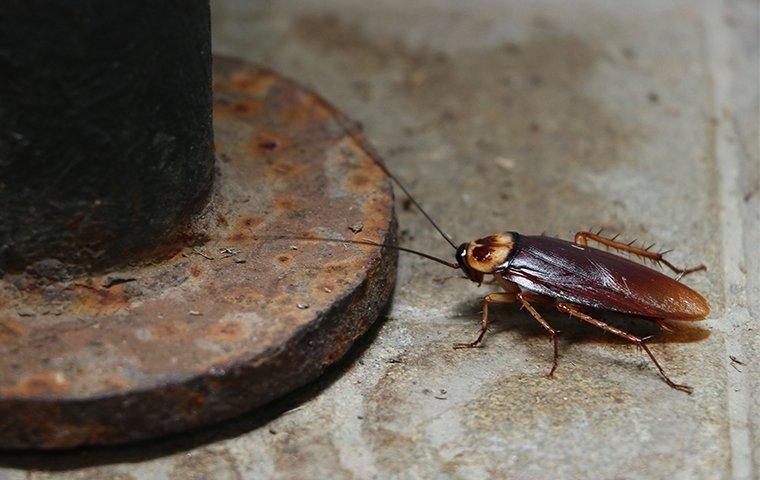 american cockroach in basement