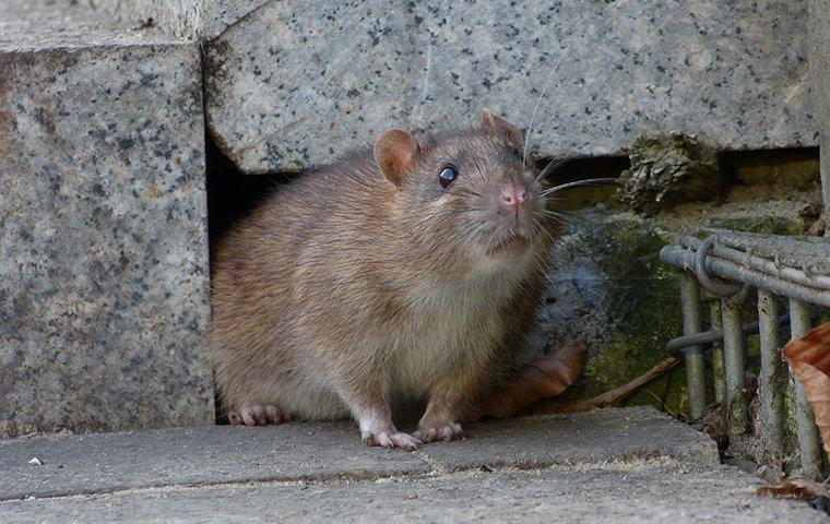 norway rat crawling out of a hole