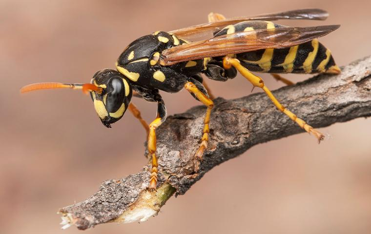 yellow jacket on tree branch