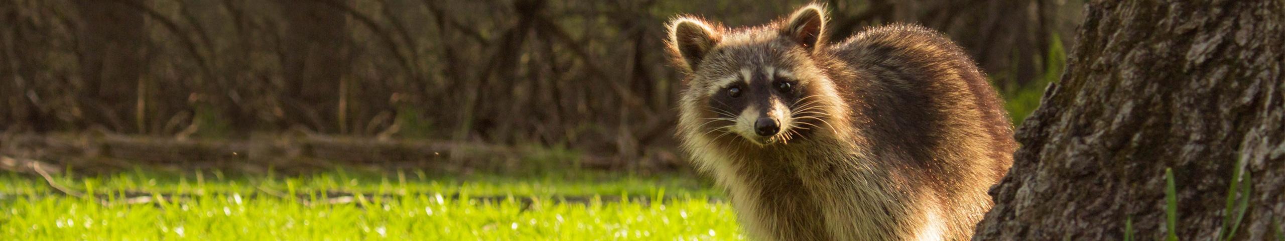 a raccoon outside of a house