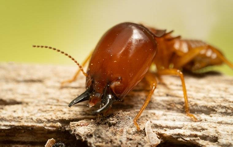 an up close image of a large termite crawling on wood