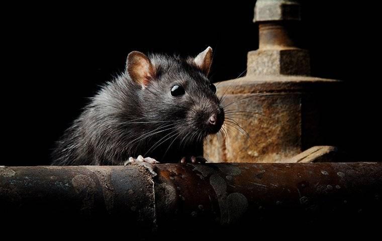 an up close image of a big rat crawling in a dark basement