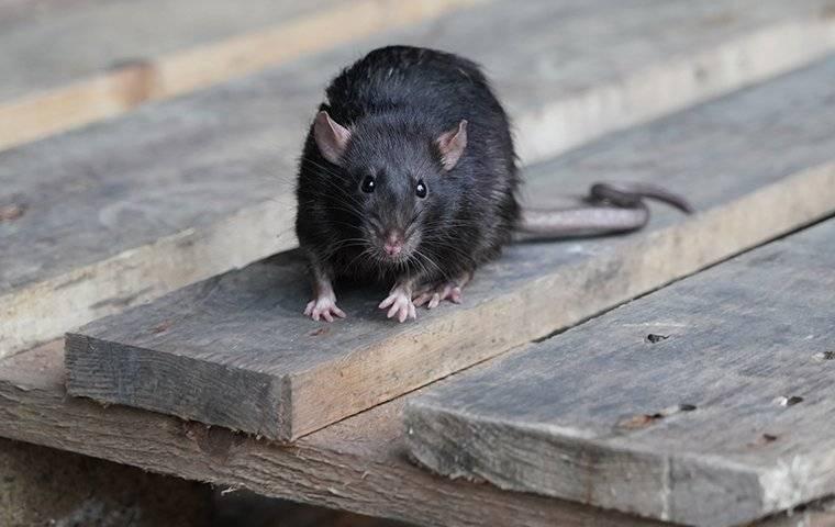 black rat on deck boards