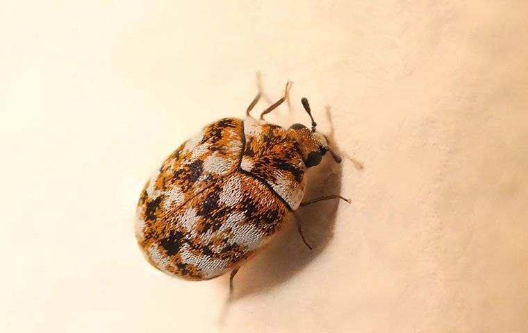 carpet beetle in a house