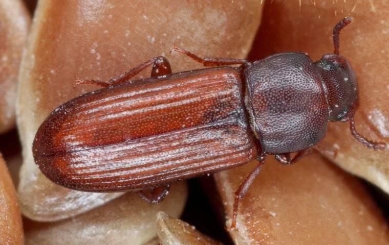 confused flour beetle on a grain