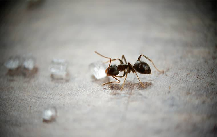odorous-house-ant