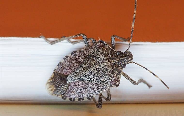 up close image of stink bug on a wall