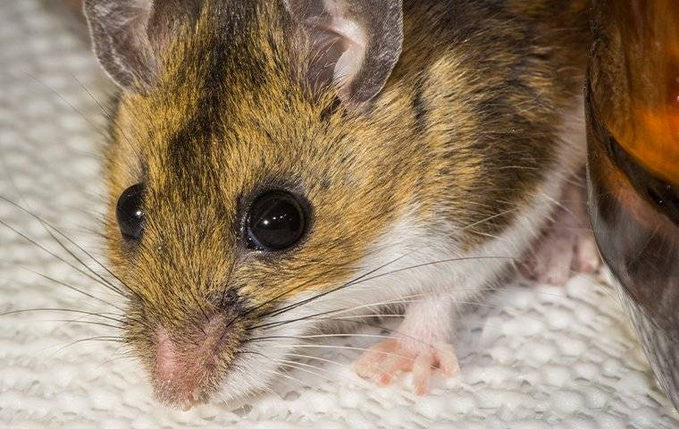 up close image of a house mouse in a kitchen cabinet