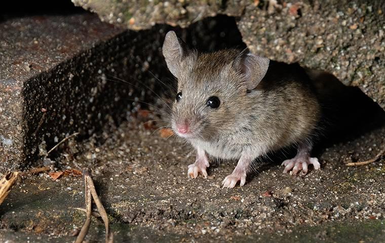 a little mouse hiding in a a basement