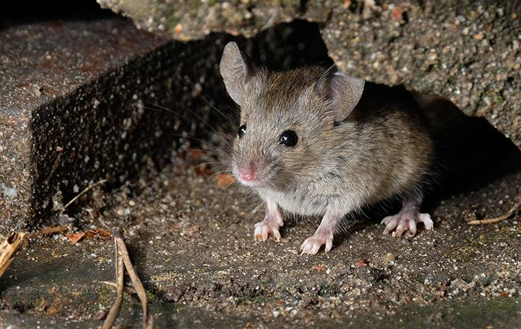 a small house mouse hiding in a basement