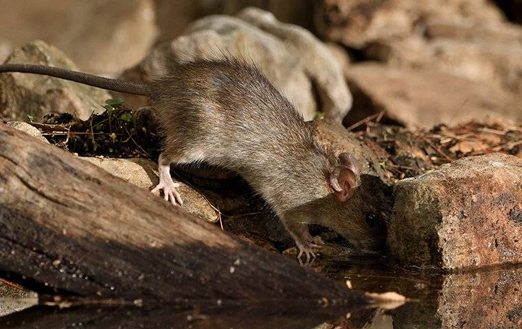 little rat looking for food
