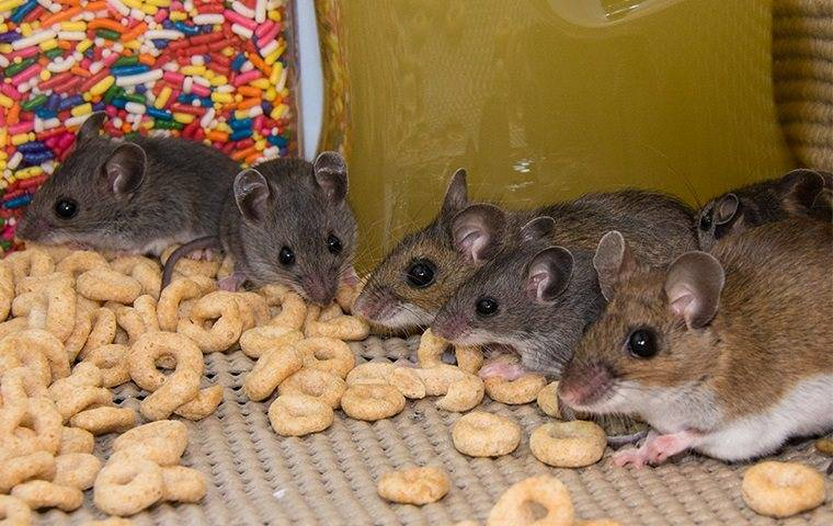mice in pantry eating cereal