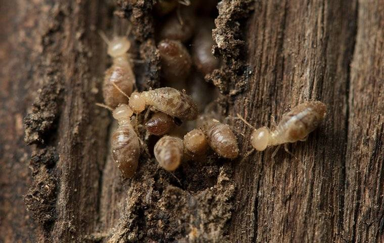 termites coming out of wood