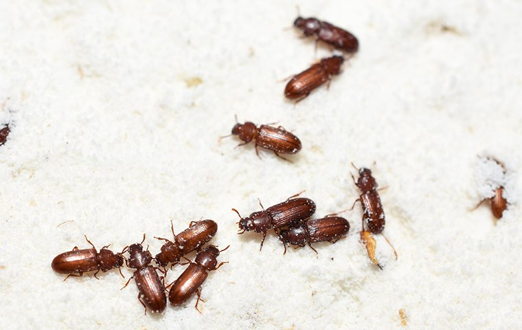 confused flour beetles in a bag of flour