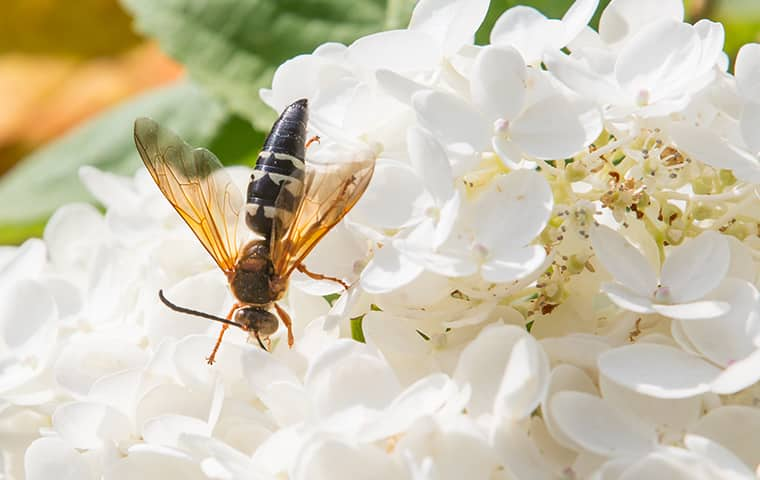 a cicada killer wasp on some pretty white flowers