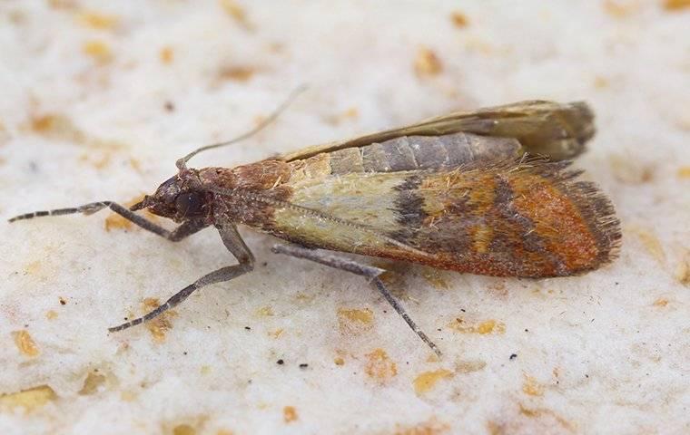 a meal moth up close