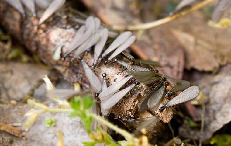 swarming termites in a media pennsylvania backyard