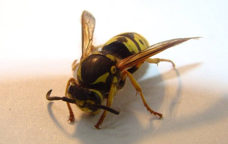 a wasp that landed on a kitchen counter inside a home