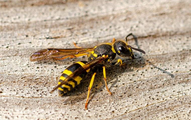 up close image of a wasp landing on a wooden table