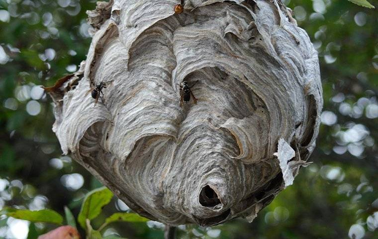 wasps on their nest that is in a tree