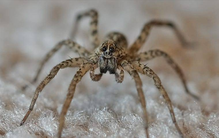an up close image of a wolf spider crawling on a living room floor