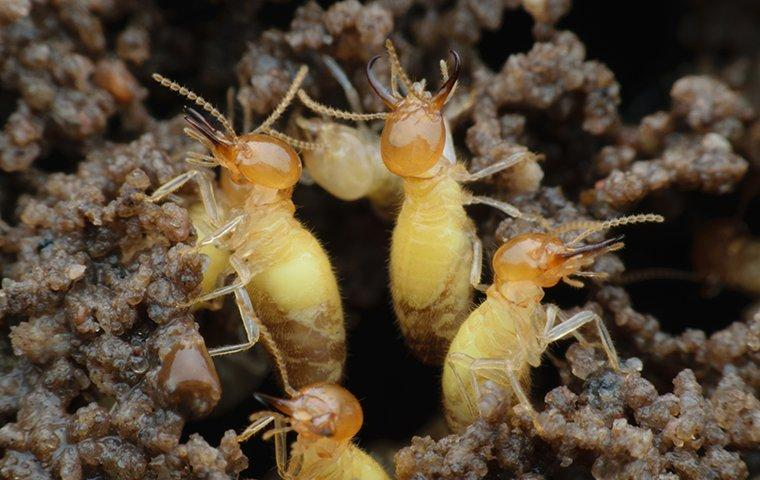 formosan termites coming out of hole in the ground