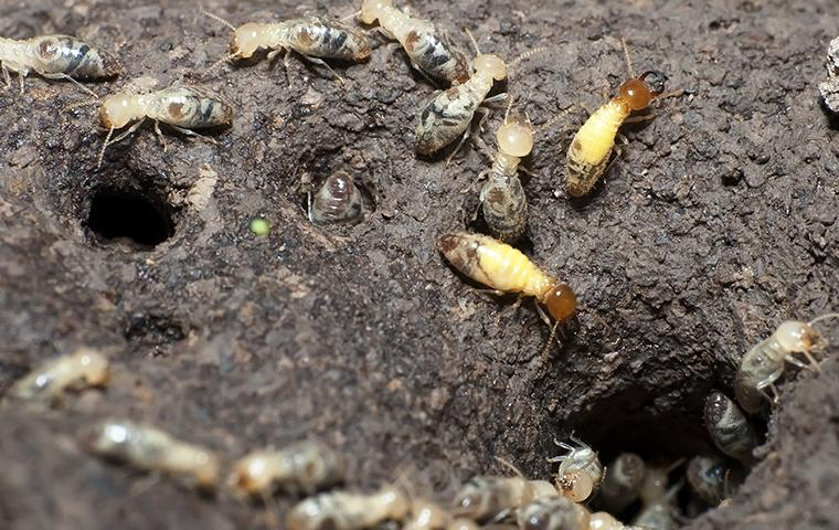 many formosan termites near a hole in the ground