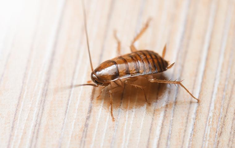 small oriental cockroach on furniture around home